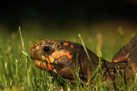 A Red-footed tortoises (Chelonoidis carbonaria) in the green grass with a brown branch in the background. Morning sun. Imagens