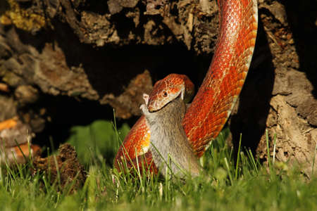 A Corn snake (Pantherophis guttatus or Elaphe guttata) after hunt eating a mouse. A red, orange and yellow Corn snake on the wood with a brown wood and green grass in the background.