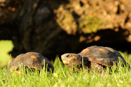 A pair of Red-footed tortoises (Chelonoidis carbonaria) in the green grass with a brown branch in the background. Morning sun.