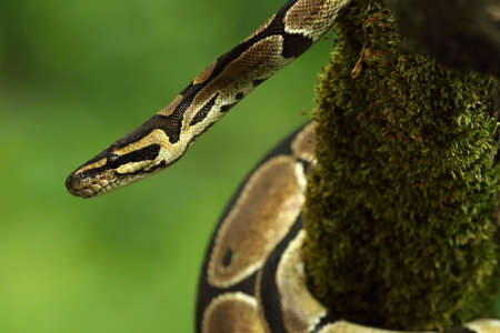 The ball python (Python regius), also called the royal python, on the old branch in green forest. Green background.