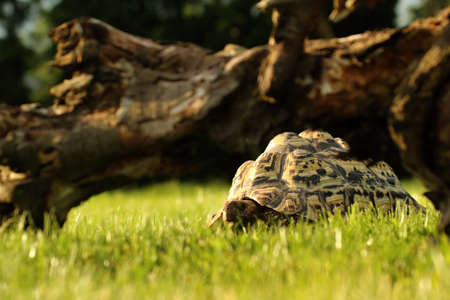 A leopard tortoise (Stigmochelys pardalis or Geochelone pardalis) in the green grass with a brown branch in the background. Morning sun.