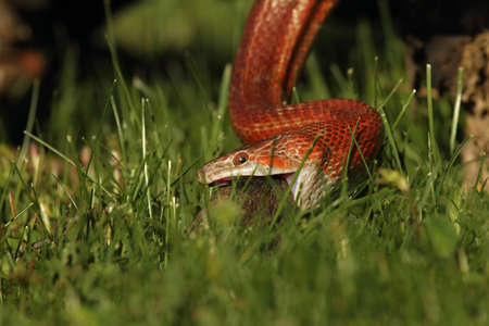 A Corn snake (Pantherophis guttatus or Elaphe guttata) after hunt eating a mouse. A red, orange and yellow Corn snake on the wood with agreen grass in the background.