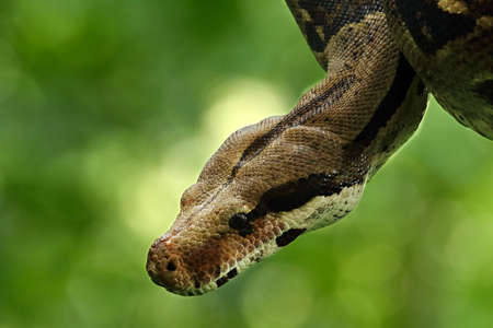 The boa constrictor (Boa constrictor), also called the red-tailed boa or the common boa, portrait on the old branch in green forest. Green background. Imagens