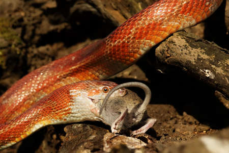 A Corn snake (Pantherophis guttatus or Elaphe guttata) after hunt eating a mouse. A red, orange and yellow Corn snake on the wood with a brown wood in the background. Imagens