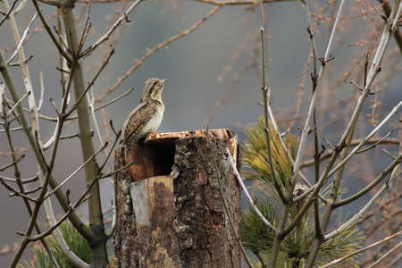 The Eurasian Wryneck (Jynx torquilla) on the nest in the old branch, up to close. Morning sun, brown branch, gray background. Imagens