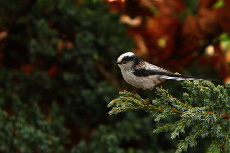 The The long-tailed tit or long-tailed bushtit (Aegithalos caudatus) sitting on the green branch with golden leafs. Morning golden sun, green background.