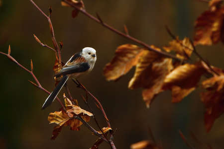 The The long-tailed tit or long-tailed bushtit (Aegithalos caudatus) sitting on the brown branch with golden leafs. Morning golden sun, brown background.