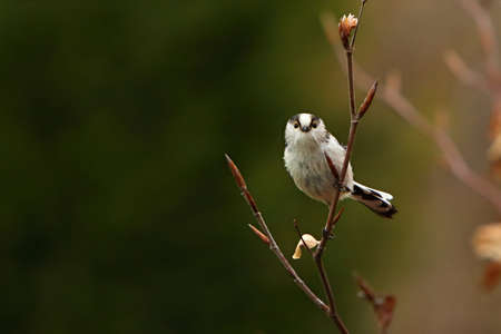 The The long-tailed tit or long-tailed bushtit (Aegithalos caudatus) sitting on the brown branch. Morning golden sun, green background.
