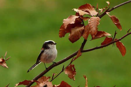 The The long-tailed tit or long-tailed bushtit (Aegithalos caudatus) sitting on the brown branch with golden leafs. Morning golden sun, green background.