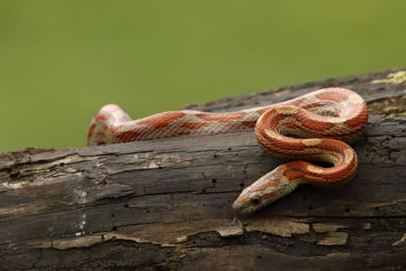 A Corn snake (Pantherophis guttatus or Elaphe guttata) on the old brown branch before a hunt. A red, orange and yellow Corn snake on the wood with agreen grass in the background.