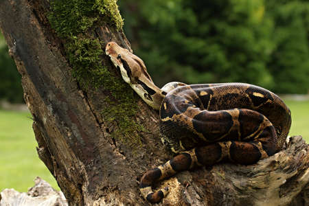 The boa constrictor (Boa constrictor), also called the red-tailed boa or the common boa, on the old branche before a hunt. Brown and green background.n green forest. Green background.