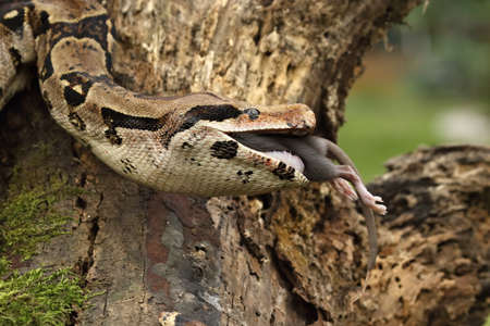The boa constrictor (Boa constrictor), also called the red-tailed boa or the common boa, on the old branch after hunt eating a rat. Brown and green background in green forest. Green background.