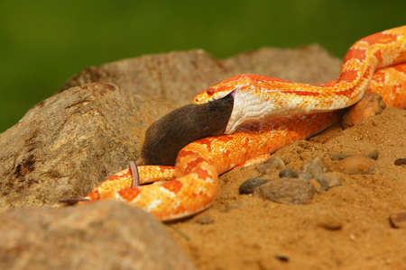 A Corn snake (Pantherophis guttatus or Elaphe guttata) after hunt eating a mouse. A red, orange and yellow Corn snake on the wood with a brown wood in the background. Reklamní fotografie