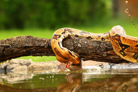 The boa constrictor (Boa constrictor), also called the red-tailed boa or the common boa, hunting the rat on the old branch above the water.