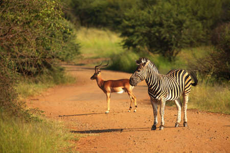 A Mountain Zebra (Equus zebra) with one impala in grassland with dry grass in the background.