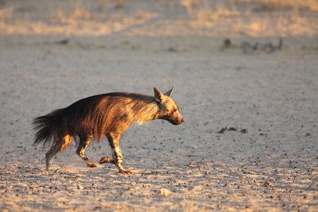 The brown hyena (Parahyaena brunnea) running from the waterhole in the morning sun. Reklamní fotografie