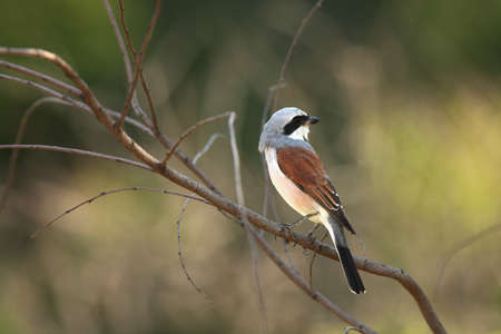 A beautiful brown shrike (Lanius cristatus) sitting on the brown dry branch in the morning sun. Reklamní fotografie