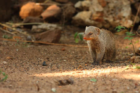The banded mongoose (Mungos mungo) running on the green grass in the trees shade. Reklamní fotografie