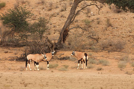 The gemsbok or gemsbuck (Oryx gazella) standing on the red sand dune with red sand and dry grass around. Reklamní fotografie