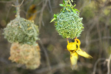 A southern masked weaver - African masked weaver (Ploceus velatus) building the nest.