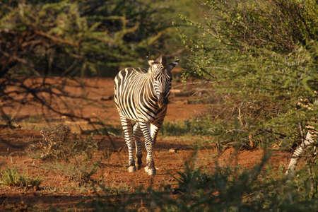 A Mountain Zebra (Equus zebra) in grassland with dry grass in background. Reklamní fotografie