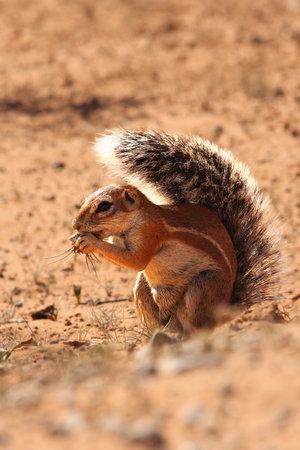 The African ground squirrels (genus Xerus) staying on dry sand of Kalahari desert and feeding. Up to close.