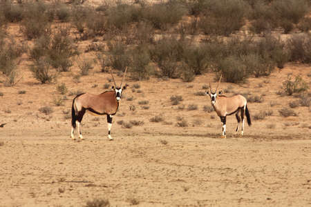 The gemsbok or gemsbuck (Oryx gazella) standing on the red sand dune with red sand, dry grass around and green trees round. Reklamní fotografie