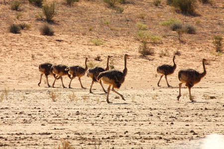 Three ostriches (Struthio camelus) standing on the red sand dune with red sand and dry grass around.