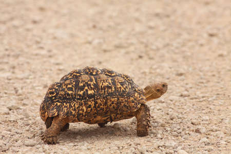 The Leopard Tortoise (Geochelone pardalis) walking across the sand road in Kalahari desrt.