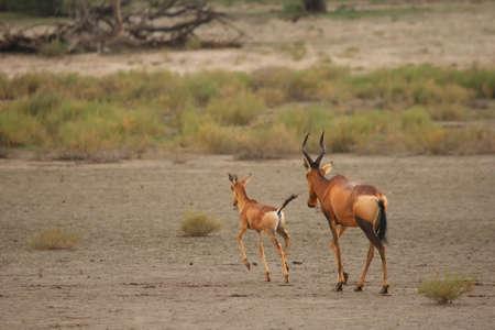 Red hartebeest (Alcelaphus buselaphus caama or Alcelaphus caama) mother with her baby running on the dry sand of Kalahari desert. Reklamní fotografie