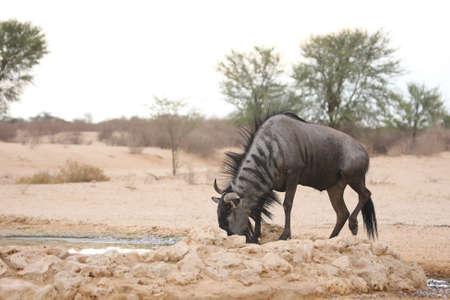 A blue wildebeest (Connochaetes taurinus) calmly drinking in dry grassland. Reklamní fotografie