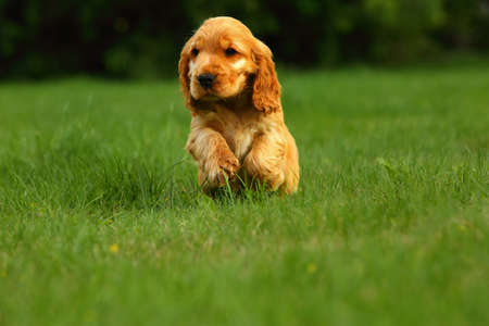 Amazing, newborn and cute red English Cocker Spaniel puppy detail. Small and cute red Cocker Spaniel puppy running in the green grass, morning sun. Green background. Reklamní fotografie