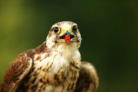The saker falcon (Falco cherrug) up to close. The saker falcon portrait.