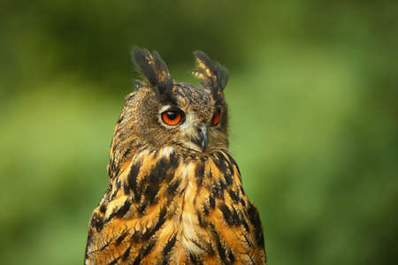 The portrait of a Eurasian eagle-owl (Bubo bubo) with green background. Reklamní fotografie