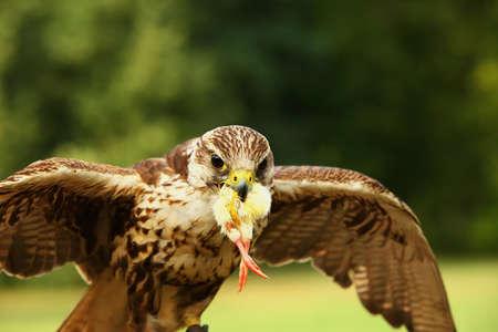 The saker falcon (Falco cherrug) is feeding. The saker falcon with a death chicken in his beak. Reklamní fotografie