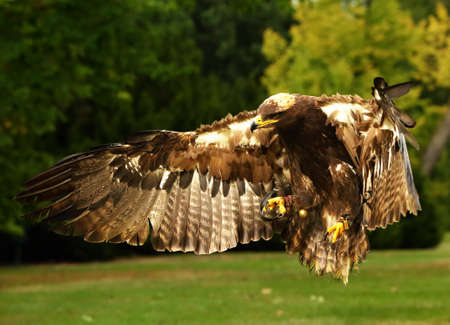The steppe eagle (Aquila nipalensis) is flying very close to the camerra.