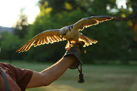 The lanner falcon (Falco biarmicus) in people care. The lanner falcon on the mans hand.