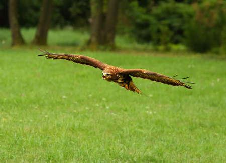 The common buzzard (Buteo buteo) flying very close. Green background. Reklamní fotografie