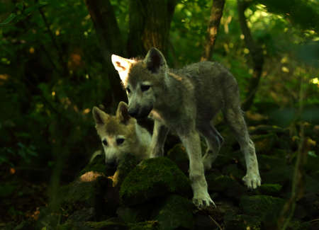 Two north american wolfs puppies (Canis lupus) staying in the forest. Calm, north american wolf males.