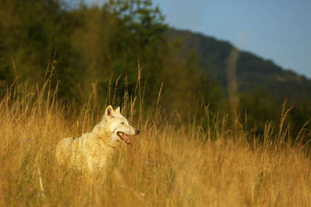 An Arctic Wolf (Canis lupus arctos) staying in dry grass in front of the forest.