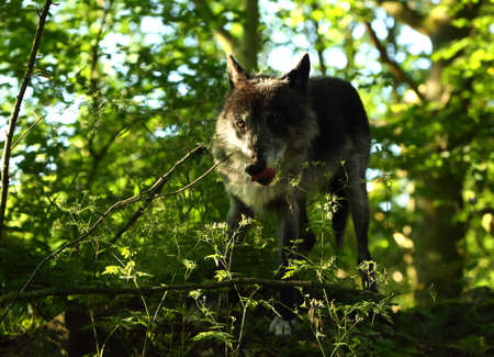 A north american wolf (Canis lupus) staying in the forest.