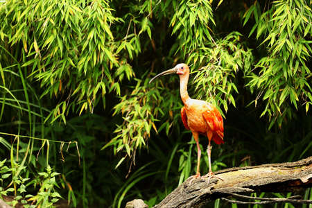 The scarlet ibis (Eudocimus ruber) sitting on the old branch. Green backgrund. Morning sun.