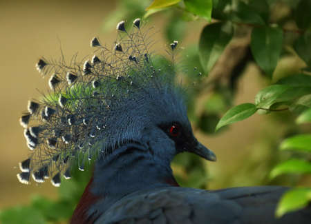 The Victoria crowned pigeon (Goura victoria) detail, portrait. Green background.