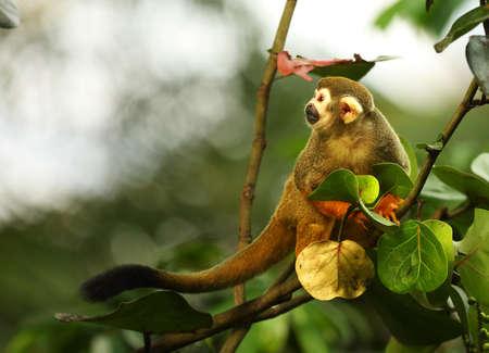 The term common squirrel monkey (Saimiri sciureus) sitting on the green branch. Green and white background. Reklamní fotografie