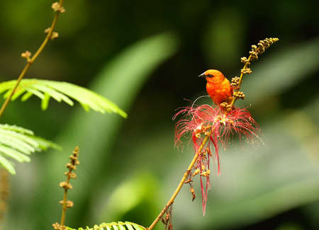 The red fody (Foudia madagascariensis), also known as the Madagascar fody in Madagascar sitting on the red branch. Green background. Morning sun. Reklamní fotografie