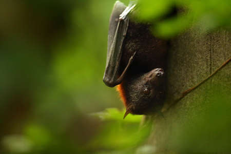 The small flying fox, island flying fox or variable flying fox (Pteropus hypomelanus) on the stone. Detail, portrait. Green background.