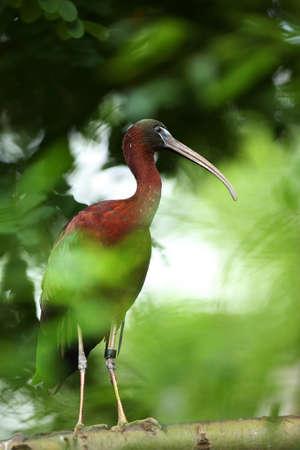 The northern bald ibis, hermit ibis, or waldrapp (Geronticus eremita) on the old branch. Green background. Morning sun.