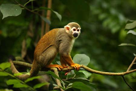 The term common squirrel monkey (Saimiri sciureus) sitting on the green branch. Green trees in the background.Morning sun. Detail. Monkey portrait.