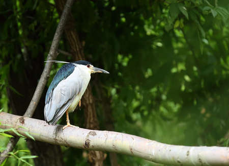 The Black-crowned night heron (Nycticorax nycticorax) on the branch. Green background. Morning sun.