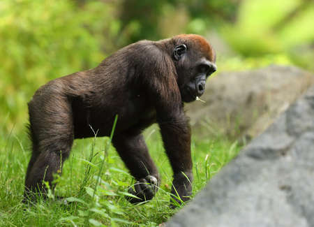 The western lowland gorilla (Gorilla gorilla gorilla) baby staying in the green grass. Green background.Stone in the front of the ape.